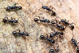 Yağmur yağdığında karıncalar neden zarar görmez?