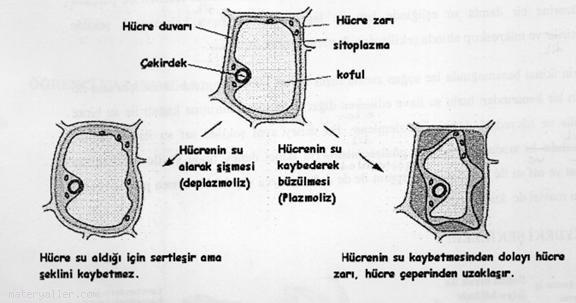 Plazmoliz Ve Deplazmoliz